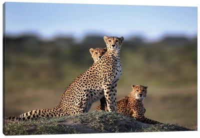 Cheetahs Family Canvas Art Print