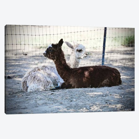 Alpaca Friends Canvas Print #SUV113} by Susan Vizvary Canvas Art Print