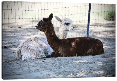 Alpaca Friends Canvas Art Print
