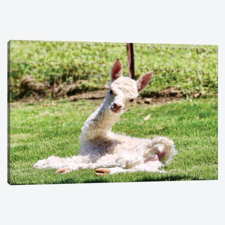 Baby Alpaca Canvas Print #SUV115} by Susan Vizvary Canvas Artwork