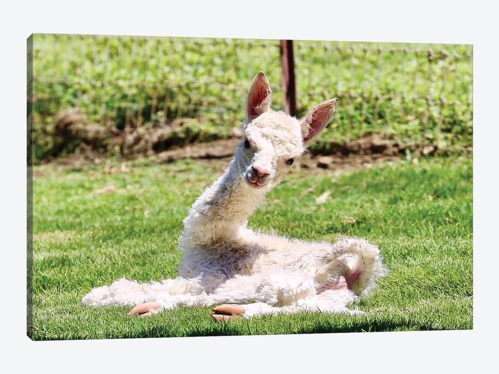 Baby Alpaca by Susan Vizvary 1-piece Canvas Art Print