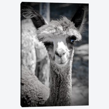 Winking Alpaca in Black And White Canvas Print #SUV117} by Susan Vizvary Canvas Artwork