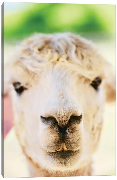 Alpaca Nose Close-Up Canvas Art Print