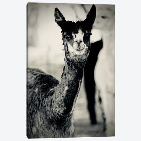 Happy Alpaca in Black And White Canvas Print #SUV129} by Susan Vizvary Canvas Artwork