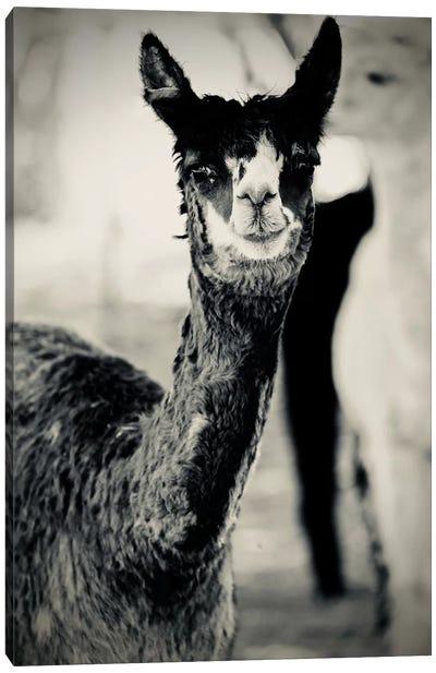 Happy Alpaca in Black And White Canvas Art Print