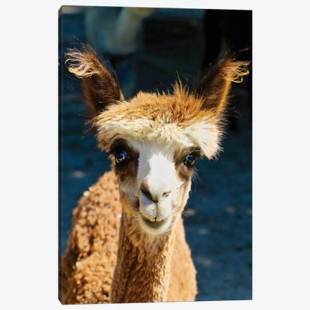 Happy Brown Alpaca Canvas Print #SUV130} by Susan Vizvary Canvas Art Print