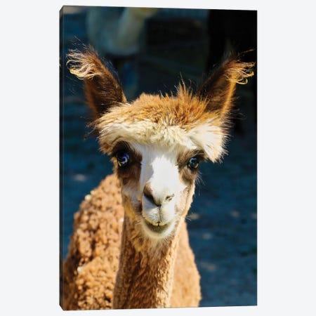 Happy Brown Alpaca Canvas Print #SUV130} by Susan Vizvary Canvas Art Print