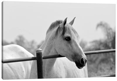 Horse Over Fence In Black And White Canvas Art Print