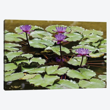 Waterlilies Canvas Print #SUV162} by Susan Vizvary Canvas Art