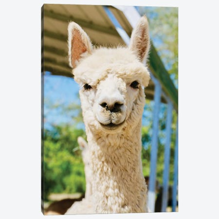 White Alpaca Canvas Print #SUV163} by Susan Vizvary Canvas Wall Art