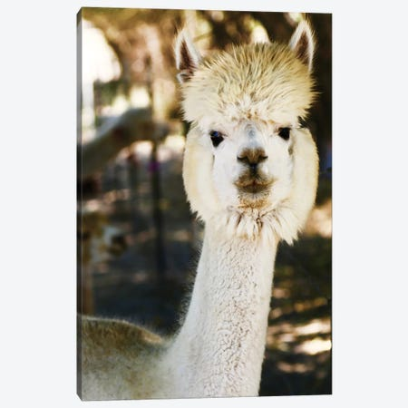 White Furry Alpaca Canvas Print #SUV166} by Susan Vizvary Art Print