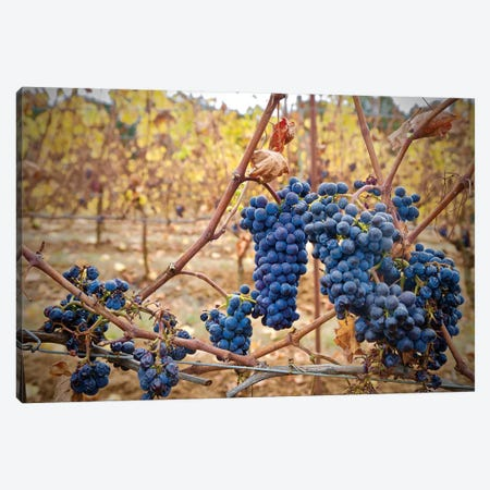 Grapes On A Vine Canvas Print #SUV205} by Susan Vizvary Canvas Art