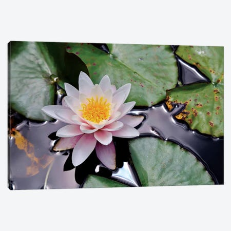 New Zealand Water Lily 3-Piece Canvas #SUV226} by Susan Vizvary Canvas Art