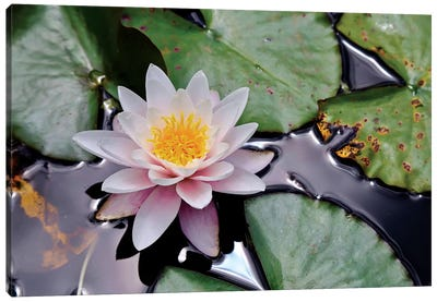 New Zealand Water Lily Canvas Art Print
