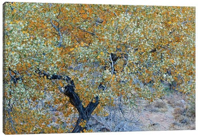 Autumn Tree In Utah Canvas Art Print