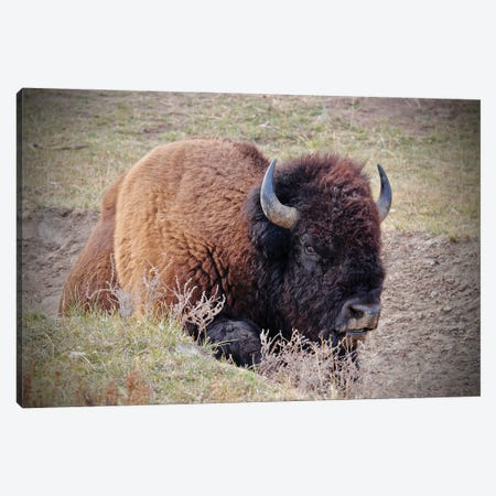 Bison In The Field Canvas Print #SUV339} by Susan Vizvary Canvas Print