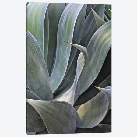 Faded Succulant II Canvas Print #SUV34} by Susan Vizvary Canvas Art