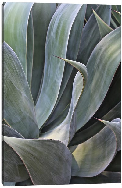 Faded Succulant II Canvas Art Print