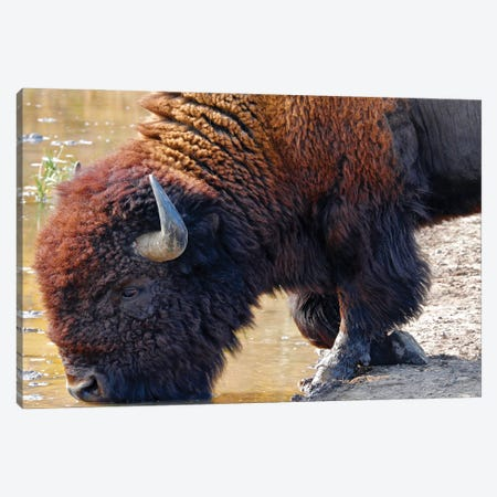 Kneeling Bison At Water Canvas Print #SUV357} by Susan Vizvary Canvas Art
