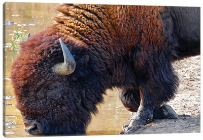 Kneeling Bison At Water Canvas Art Print