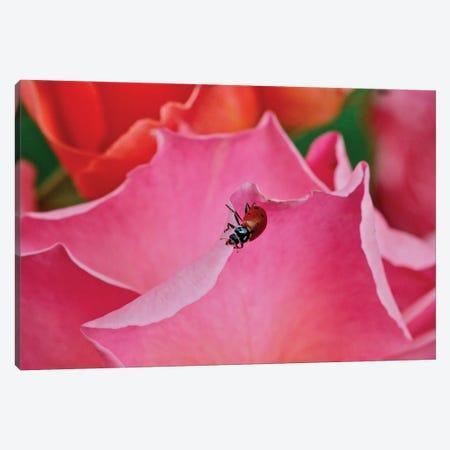 Ladybug On A Rose I Canvas Print #SUV358} by Susan Vizvary Art Print