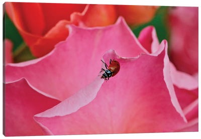 Ladybug On A Rose I Canvas Art Print