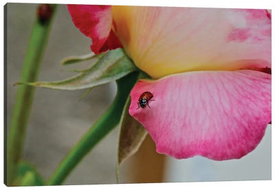Ladybug On A Rose II Canvas Art Print