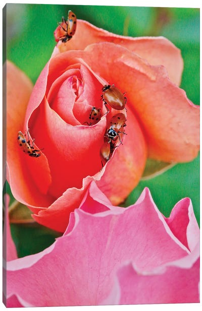 Ladybugs On A Rose IV Canvas Art Print