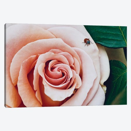 Ladybug On A Rose III Canvas Print #SUV361} by Susan Vizvary Canvas Wall Art