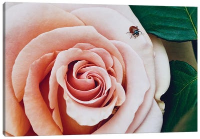 Ladybug On A Rose III Canvas Art Print