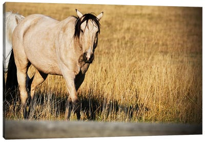 Single Tan Horse Canvas Art Print