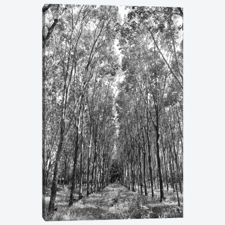 Rubber Trees in Black&White Canvas Print #SUV84} by Susan Vizvary Canvas Art Print