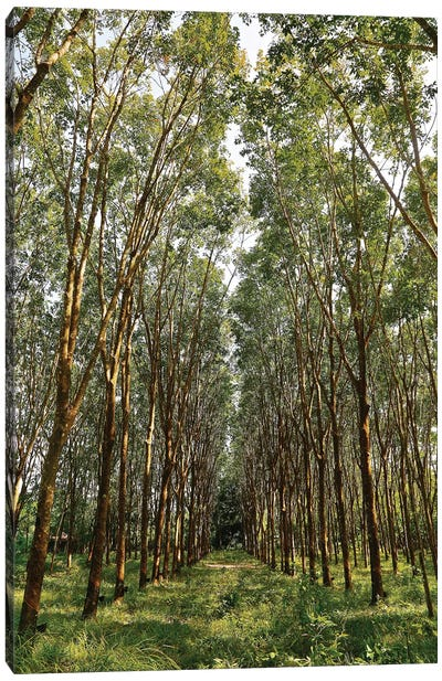 Rubber Trees in Color Canvas Art Print