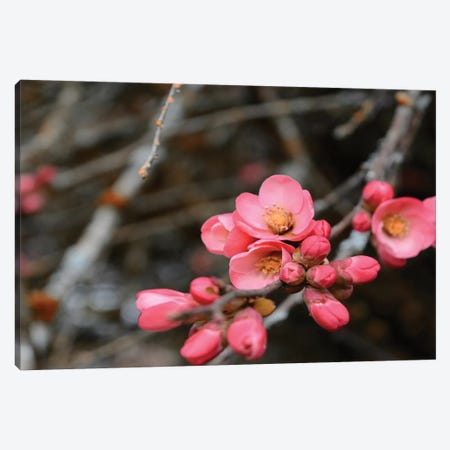 Crabapple Tree Blossoms Canvas Print #SVN25} by Savanah Plank Canvas Print