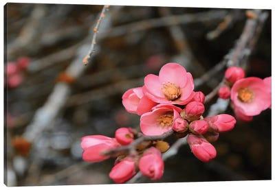 Crabapple Tree Blossoms Canvas Art Print