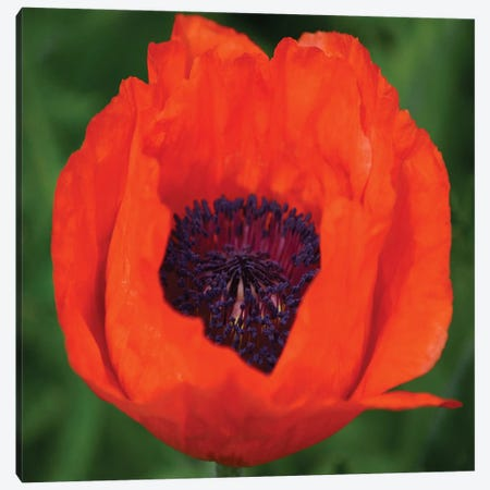 Orange Poppy I Canvas Print #SVN39} by Savanah Plank Canvas Art Print
