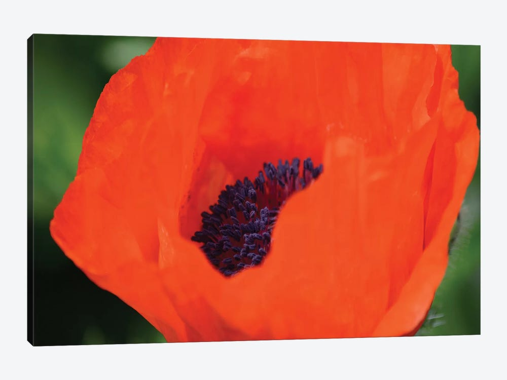 Orange Poppy II by Savanah Plank 1-piece Canvas Print
