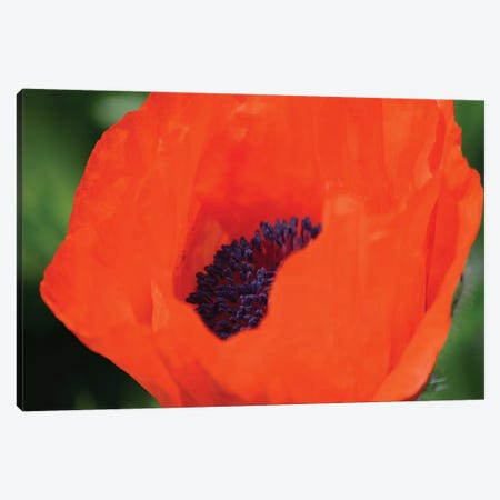 Orange Poppy II Canvas Print #SVN40} by Savanah Plank Canvas Wall Art