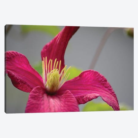 Pink Clematis Canvas Print #SVN43} by Savanah Plank Canvas Wall Art