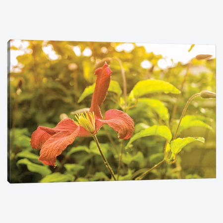 Summertime Clematis Canvas Print #SVN49} by Savanah Plank Canvas Wall Art