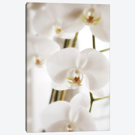 White Orchid Flowers Canvas Print #SVN60} by Savanah Plank Canvas Artwork