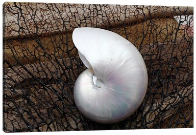 Whole Pearl Nautilus Shell Canvas Art Print