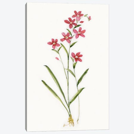 Delicate Pink I Canvas Print #SWA278} by Sally Swatland Canvas Art