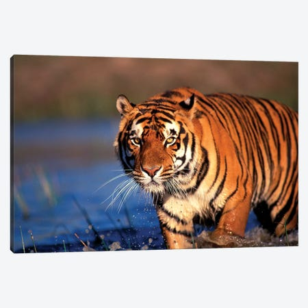 Bengal Tiger, India Canvas Print #SWE1} by Stuart Westmorland Canvas Artwork
