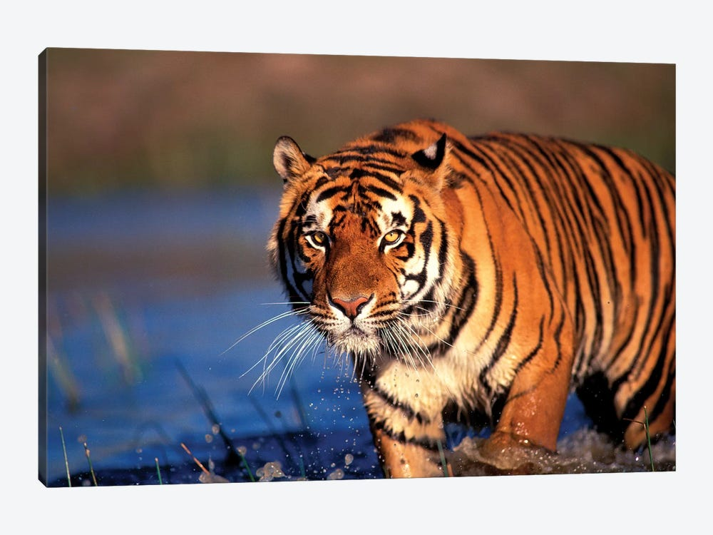 Bengal Tiger, India by Stuart Westmorland 1-piece Art Print