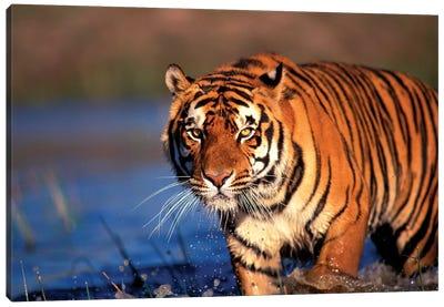 Bengal Tiger, India Canvas Art Print