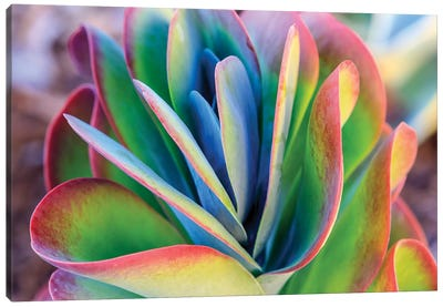 Close-up of succulent plants, San Diego, California, USA. Canvas Art Print