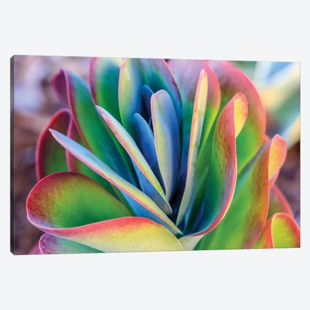 Close-up of succulent plants, San Diego, California, USA. Canvas Print #SWE22} by Stuart Westmorland Canvas Wall Art