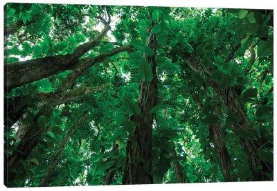 Banyan Trees near rainbow Falls, Wailuku River State Park Hilo, Big Island, Hawaii, USA Canvas Art Print