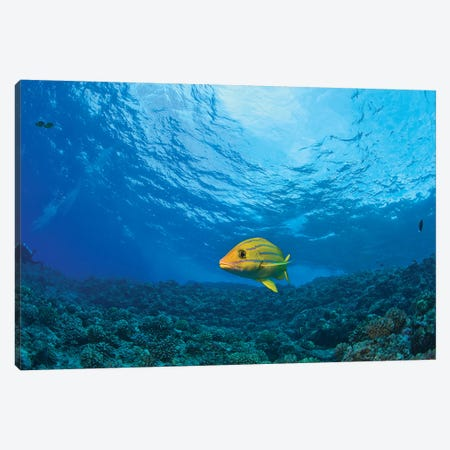 Blue striped Grunt (Haemulon sciurus), Molokini Crater, South Maui, Hawaii, USA Canvas Print #SWE37} by Stuart Westmorland Canvas Artwork